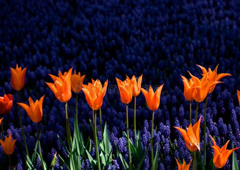 Il tulipano variopinto fiorisce la fioritura nel giardino immagini stock libere da diritti