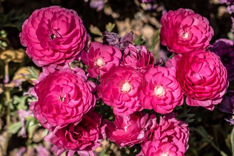Il tulipano variopinto fiorisce la fioritura nel giardino fotografia stock