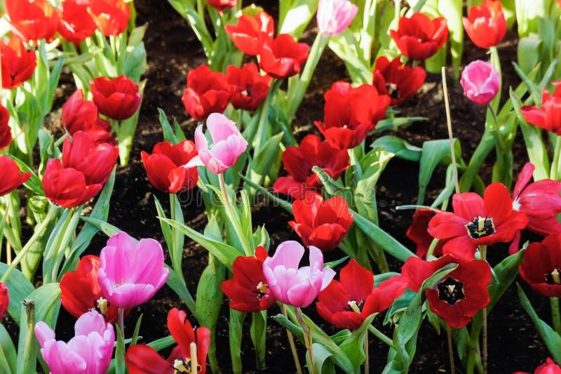 Il tulipano variopinto fiorisce nel giardino, ha un giorno piacevole sul tulipano fotografia stock