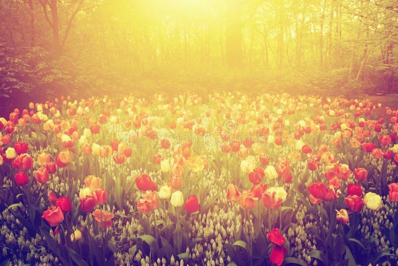 Il tulipano variopinto fiorisce nel giardino il giorno soleggiato in primavera immagine stock libera da diritti
