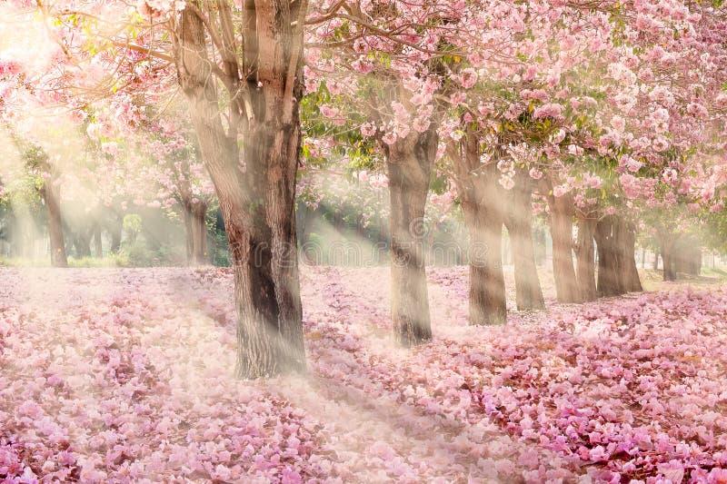 Il tunnel romantico degli alberi rosa del fiore fotografia stock libera da diritti
