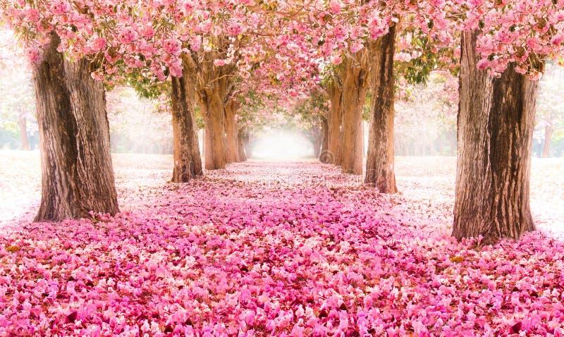Il tunnel romantico degli alberi rosa del fiore fotografie stock libere da diritti