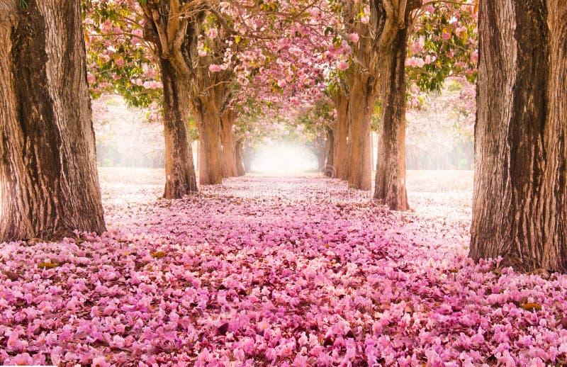 Il tunnel romantico degli alberi rosa del fiore immagine stock