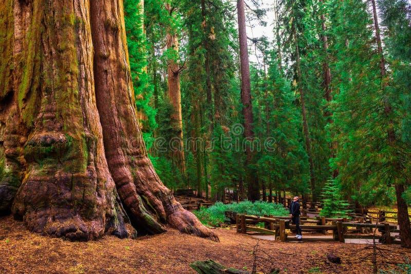 Il turista cerca un albero della sequoia gigante immagini stock libere da diritti