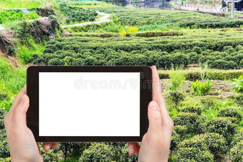 il turista fotografa il giardino con i cespugli del tè immagine stock libera da diritti