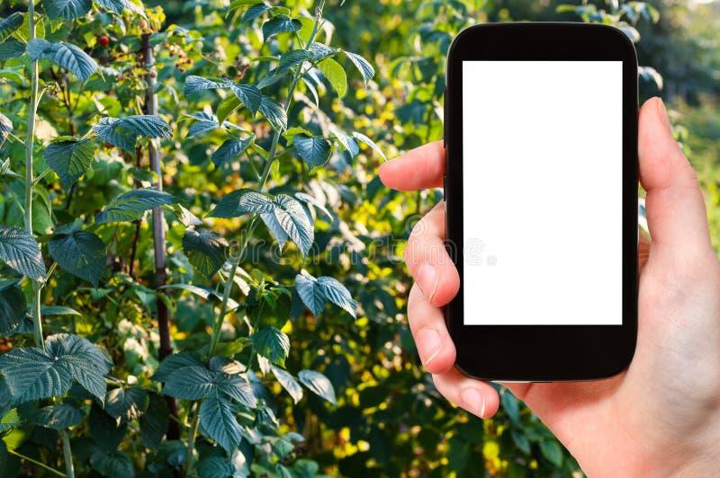 il turista fotografa i cespugli di lampone in giardino immagini stock libere da diritti