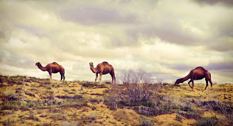 Il Turkmenistan, ?amels pasce nel deserto di Karakum Il deserto occupa 70% della regione del Turkmenistan fotografia stock