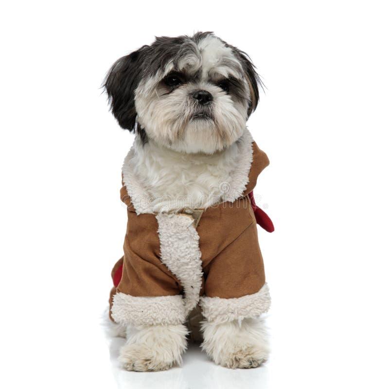 Il tzu sveglio dello shih che porta il costume marrone dell'inverno guarda per parteggiare fotografie stock libere da diritti