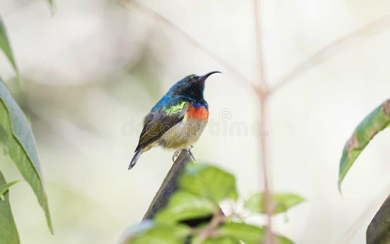 Il Usambara maschio raro, minacciato, & endemico Doppio ha messo un colletto Sunbird fotografia stock libera da diritti