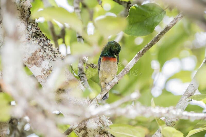 Il Usambara maschio raro, minacciato, & endemico Doppio ha messo un colletto Sunbird immagini stock libere da diritti