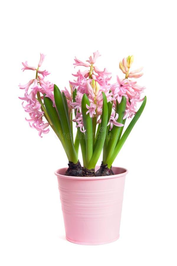 Il vaso con Hyacinthus fotografia stock