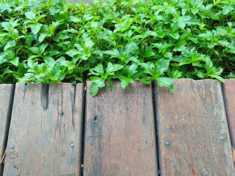 Il vecchi bordo di legno e Sphagneticola come fondo fotografia stock
