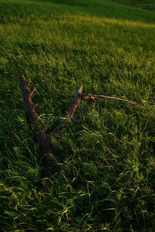 Il vecchio albero rimane sul campo dell'estate fotografia stock