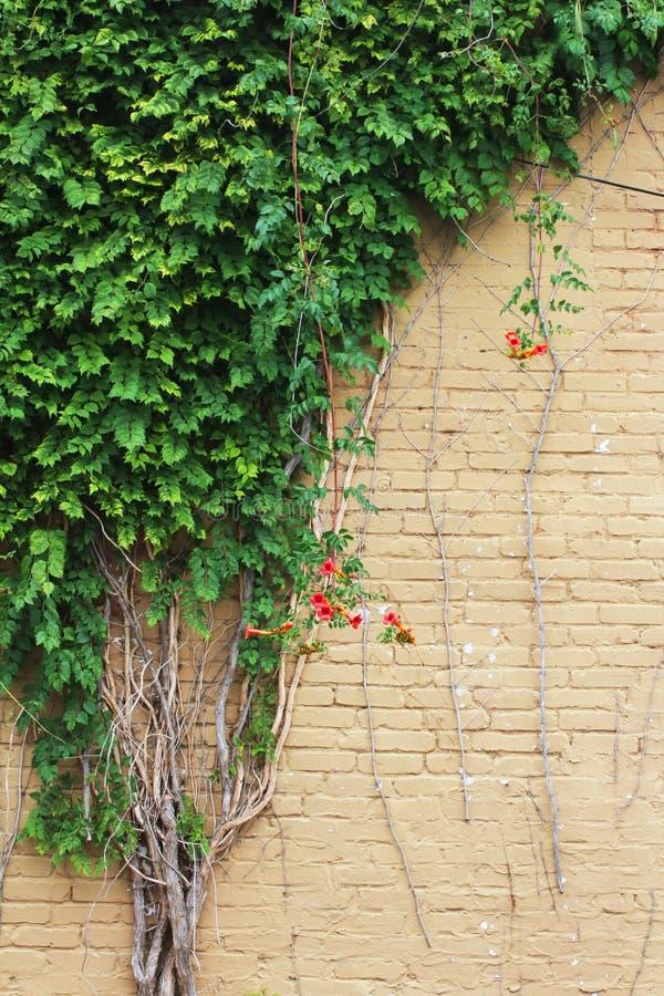 Il vecchio beige ha dipinto il muro di mattoni con le viti di tromba che crescono un lato fotografia stock libera da diritti