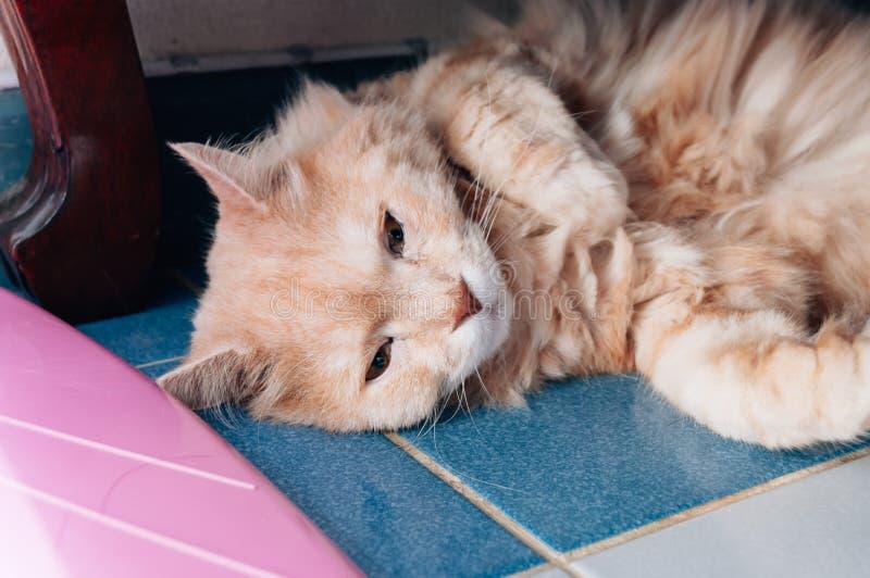 Il vecchio gatto sta guardando qualcosa prima che lui che va a dormire nella sera immagini stock libere da diritti