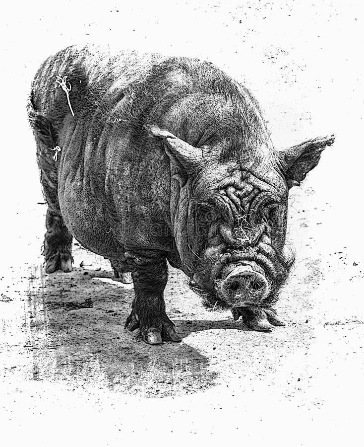 Il vecchio maiale fotografia stock
