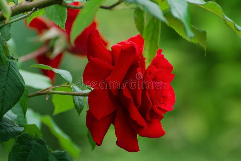 Il velluto rosso vivace è aumentato nel giardino dell'estate immagini stock libere da diritti