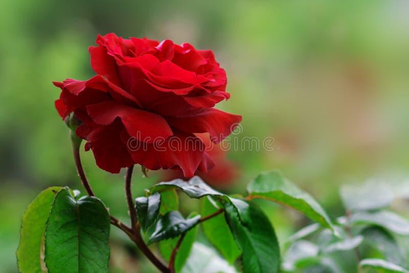 Il velluto rosso vivace è aumentato nel giardino dell'estate Sosta della sorgente immagini stock