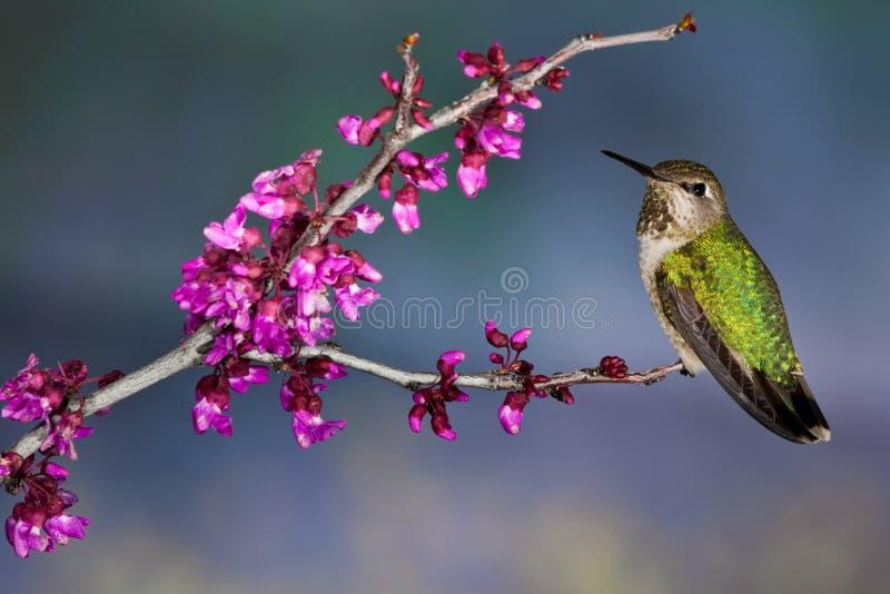 Il verde ha appoggiato il colibrì fotografia stock libera da diritti