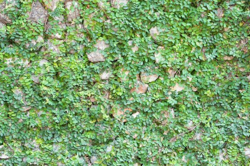 Il verde lascia la priorità bassa della parete fotografie stock