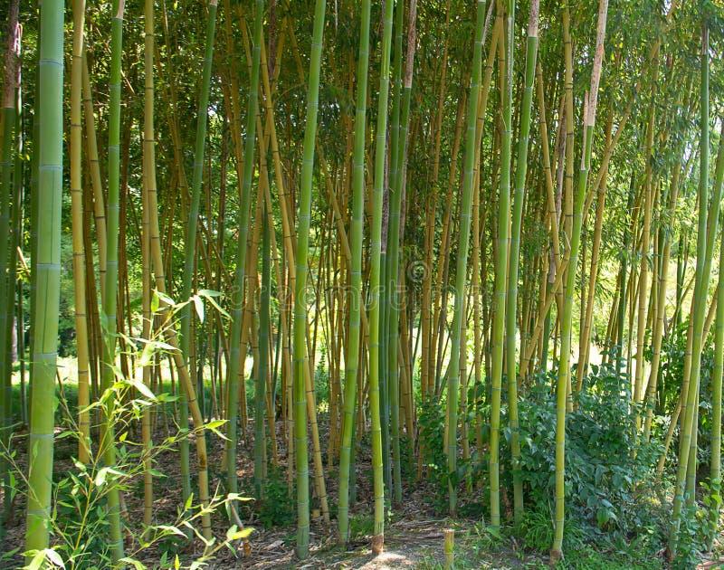 Il verde regolare verticale dei tronchi di bambù nel legno accanto a si sviluppa fotografia stock