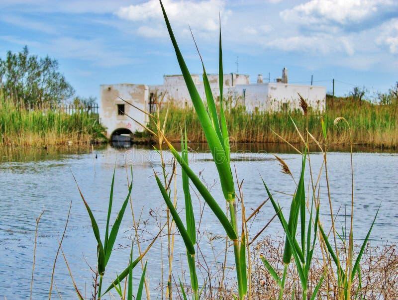 Il verde ricopre con canne vicino alla palude ed alla vecchia azienda agricola fotografia stock