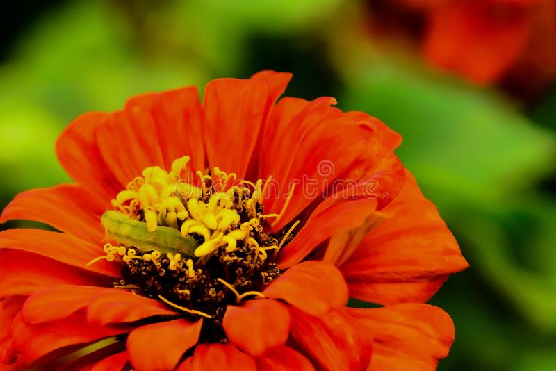 Il verme sta mangiando il polline del fiore fotografie stock libere da diritti