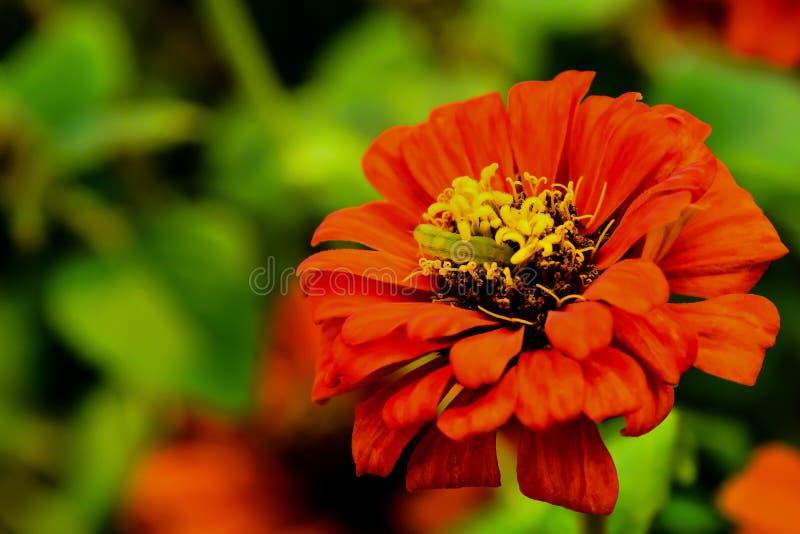 Il verme sta mangiando il polline del fiore immagini stock