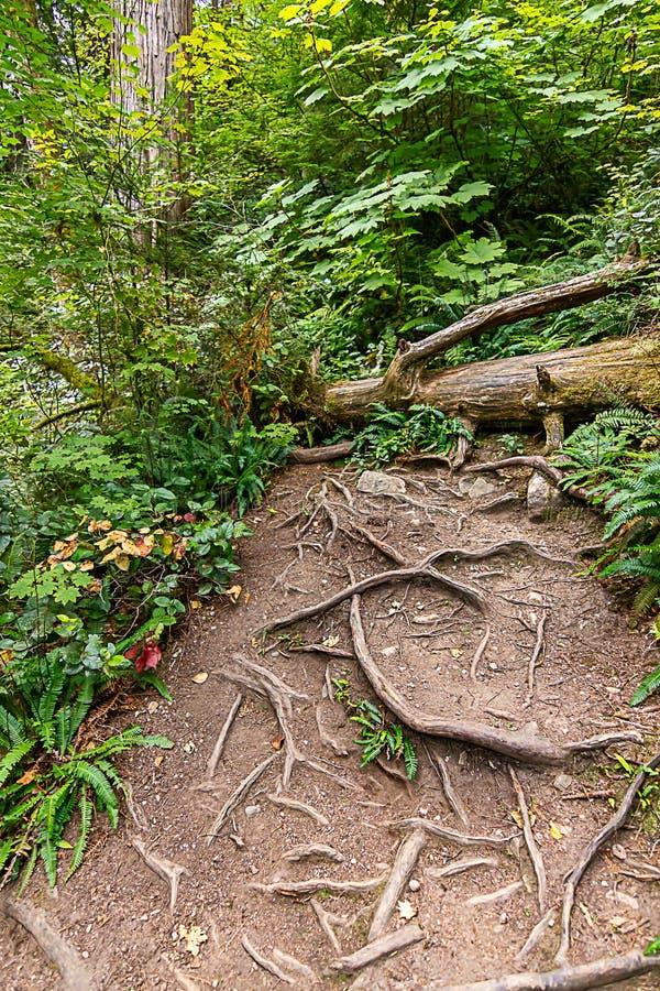 il verticale di grande albero caduto e le radici brillanti basse attraversano il percorso della sporcizia immagine stock libera da diritti