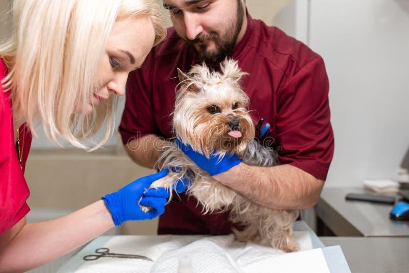 Il veterinario bello di medico ed il suo assistente attraente alla clinica del veterinario stanno esaminando l'Yorkshire terrier  fotografie stock