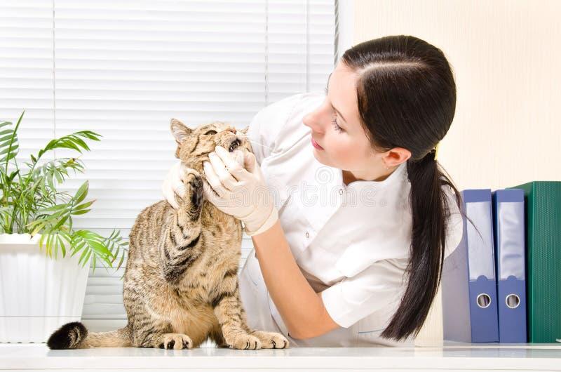 Il veterinario controlla il gatto dei denti immagine stock