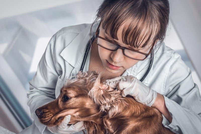 Il veterinario controlla le orecchie ad un cane immagini stock libere da diritti