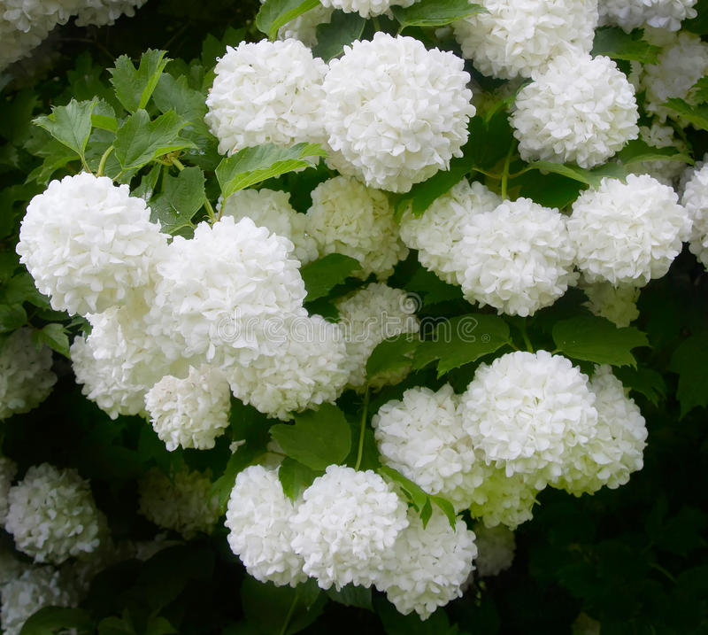 Il viburno Roseum ha fiorito bei fiori globulari bianchi immagine stock libera da diritti