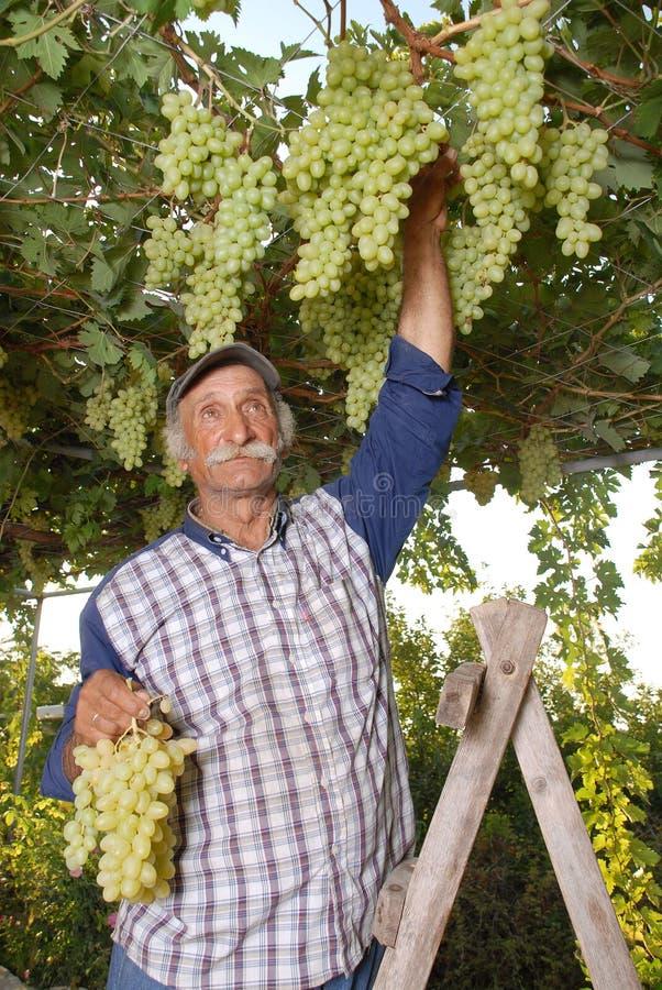 Il vintner orientale del coltivatore sta raccogliendo l'uva bianca fotografie stock