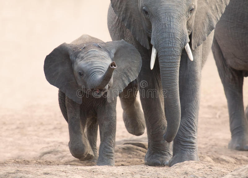 Il vitello e la madre dell'elefante fanno pagare verso il foro di acqua fotografia stock