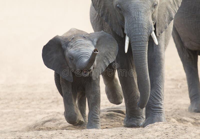 Il vitello e la madre dell'elefante fanno pagare verso il foro di acqua fotografie stock libere da diritti