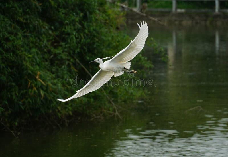 Il volo dell'egretta sul fiume, nel fondo verde scuro fotografia stock libera da diritti