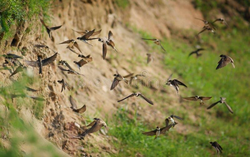 Il volo inghiotte gli uccelli dei sorsi di volo immagine stock libera da diritti