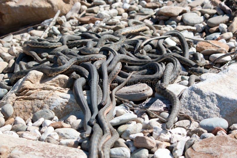 Il whipsnake caspico fotografia stock libera da diritti