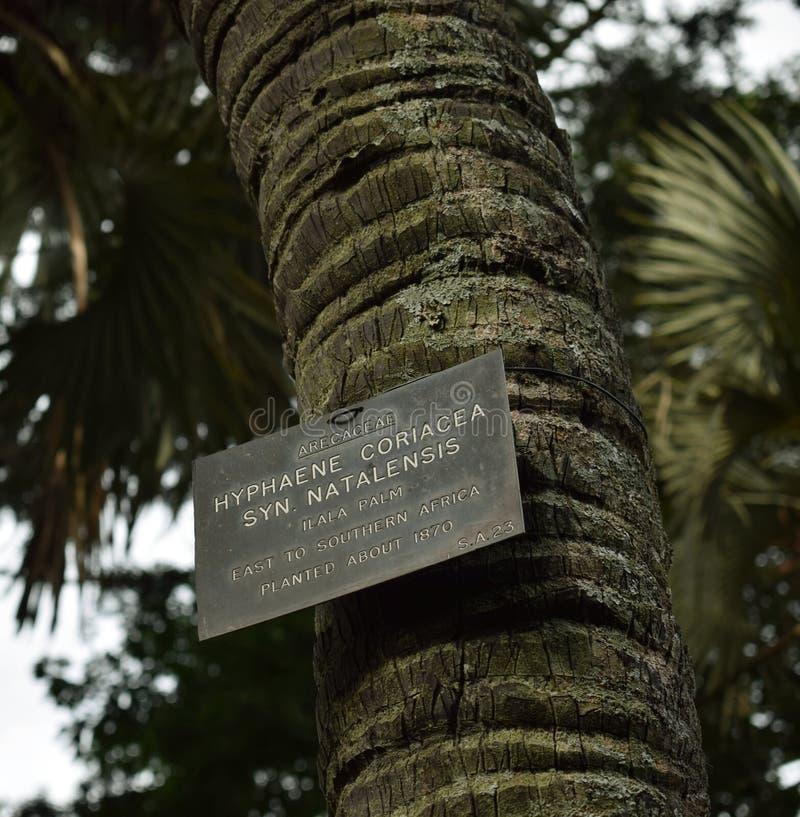 Ilala palma obraz stock