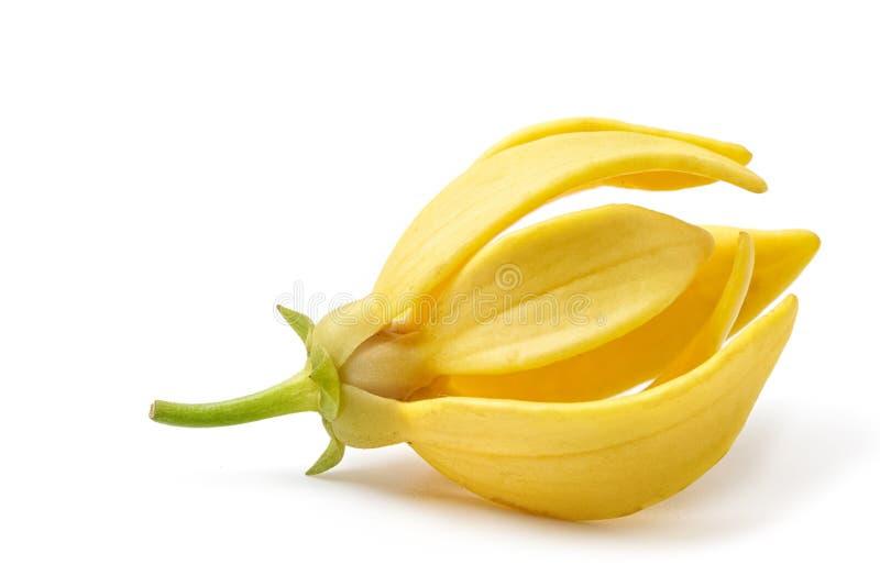 Ilang-Ilang Blume, gelbe wohlriechende Blume lizenzfreies stockbild
