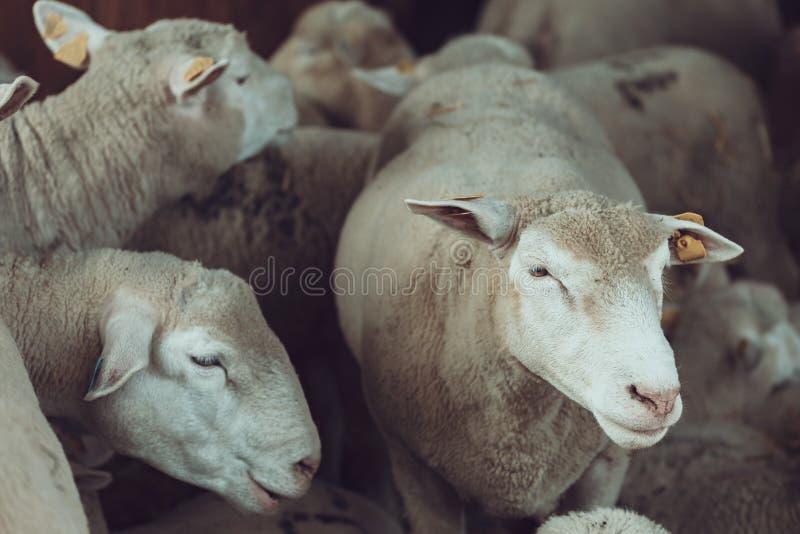 Ile de France sheep flock in pen on livestock farm stock image