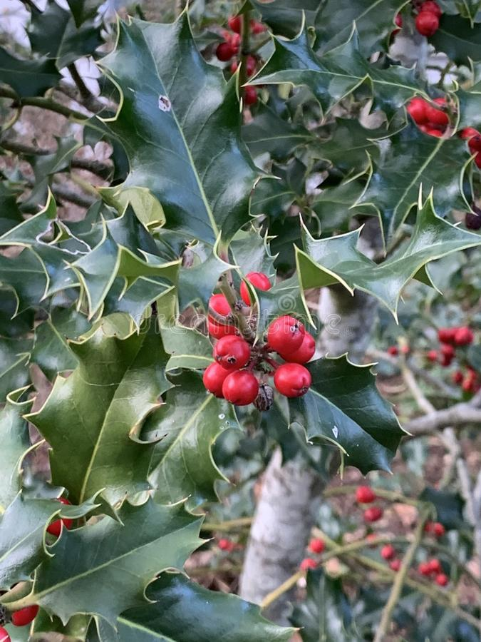 Free Ilex Aquifolium Holly, Common Holly, English Holly, European Holly, Or Occasionally Christmas Holly With A Blemish On A Leaf Stock Photo - 165365120