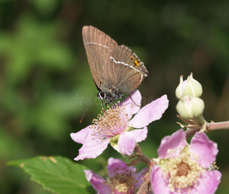 Ilex hairstreak butterfly stock photo