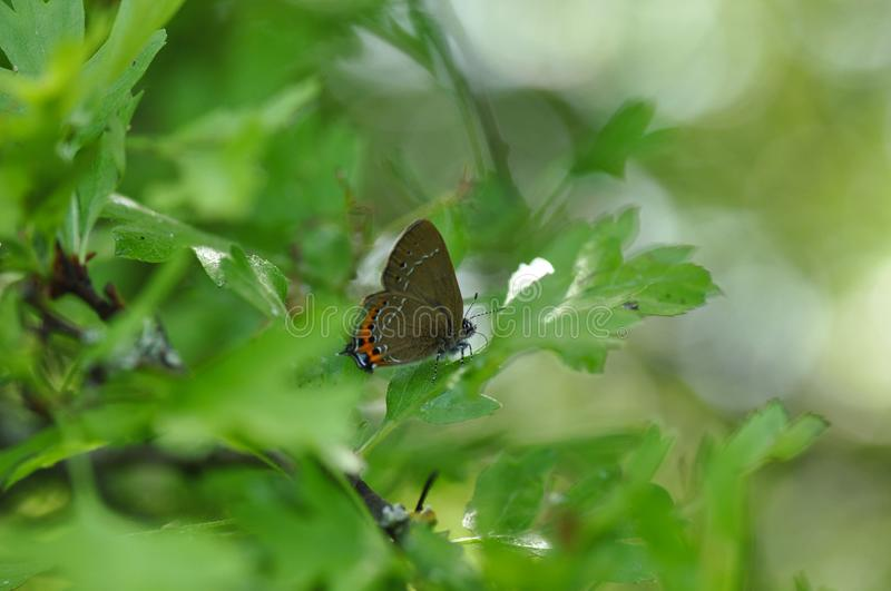 Ilex Hairstreak butterfly royalty free stock images