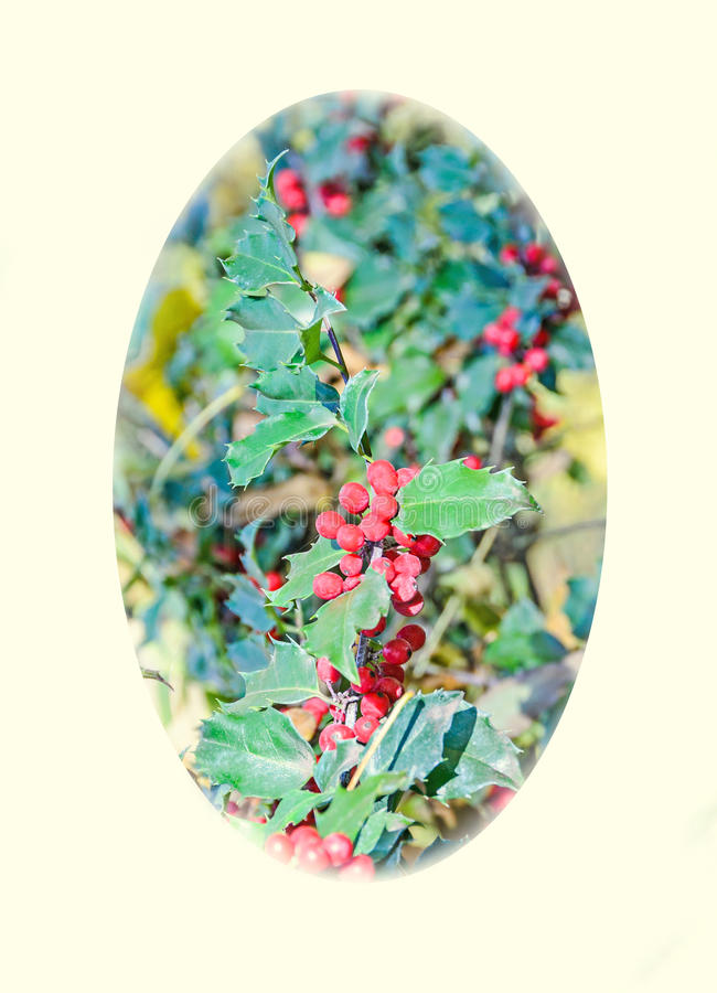 Ilex or holly red fruits, shrub genus in the family Aquifoliaceae, oval shape.  royalty free stock images