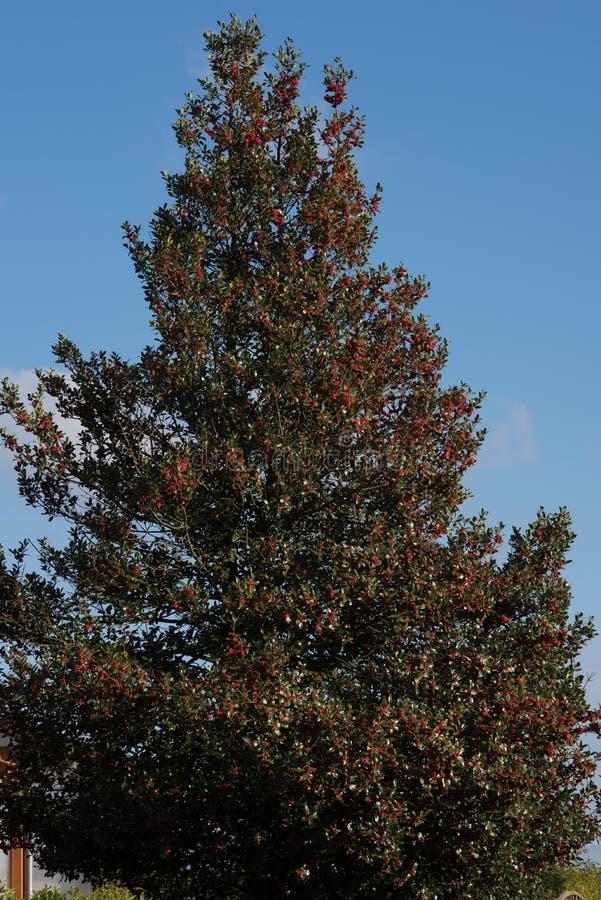 Ilex mit vielen reifen Früchten gegen einen blauen Himmel stockbilder