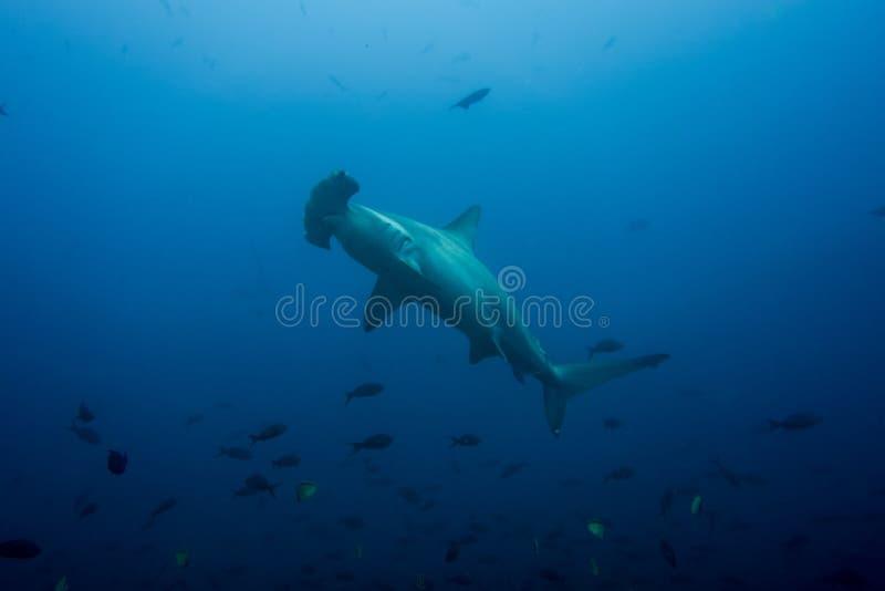 Ilha de cocos do tubarão de Hammerhead fotografia de stock royalty free