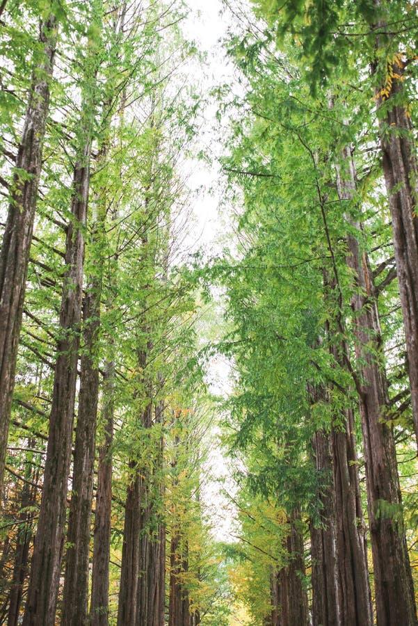 ILHA DE NAMI, COREIA - 28 DE OUTUBRO: Turistas que tomam fotos no outono a imagens de stock