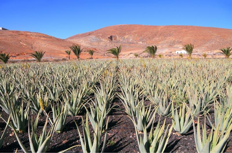 Ilhas Canárias, Fuerteventura: Aloés Vera Plantation fotos de stock royalty free